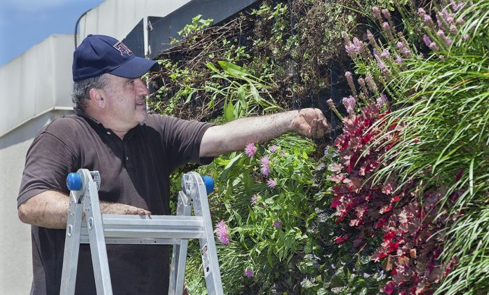 Man on ladder examines plants