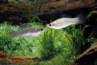 The evolution of sex: Biologists study Texas fish that reproduces asexually