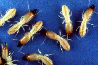 Termite colonies use chemical cues to distinguish queens from workers