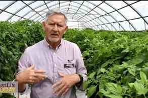 Grafting techniques may create opportunities for tomato industry