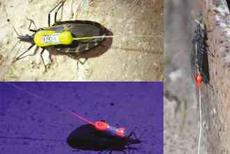 Researchers Use Tiny Transmitters To Track Chagas Disease-Spreading 'Kissing Bugs
