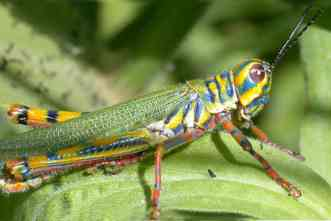 Rise of the Grasshoppers: New analysis redraws evolutionary tree for major insect family