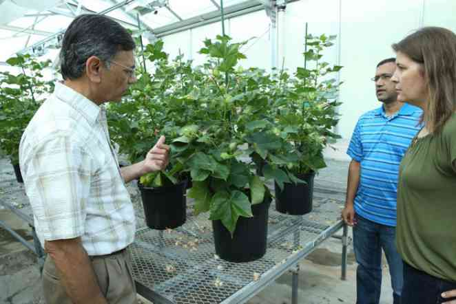 Engineered Cotton Uses Weed-Killing Herbicide As Nutrient