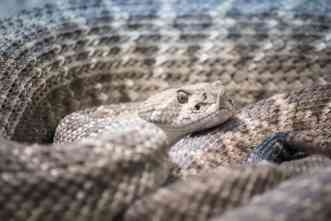 Ancient American's diet included rattlesnake—fangs and all