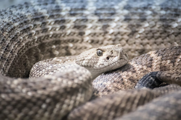 photo of a coiled rattlesnake