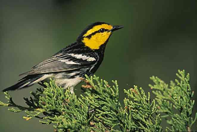 Genetic survey could determine status of endangered songbird