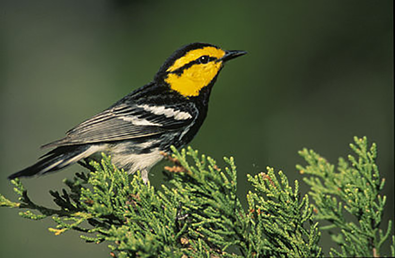 photo of golden-cheeked warbler