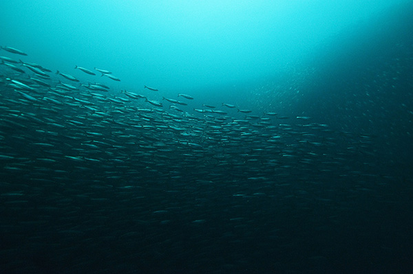 How do species adapt to locations? Herring in Baltic Sea provide clues