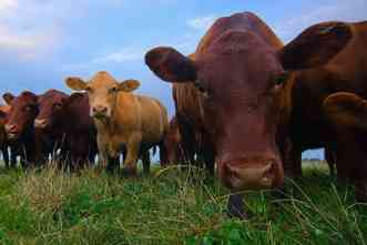 Bovine respiratory disease: Team will study practices in beef production