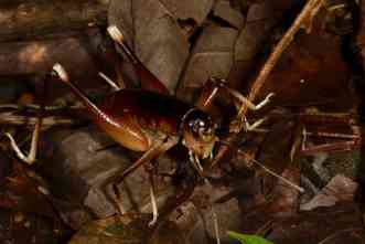 A&M undergraduates discover species of king cricket in Costa Rica