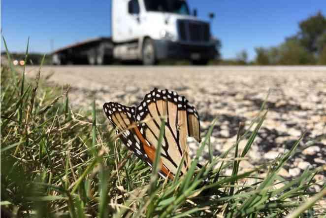 Study examines how Texas highways decimate US monarch population