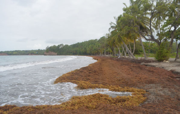 What to do with all that sargassum? Marine scientists explore options