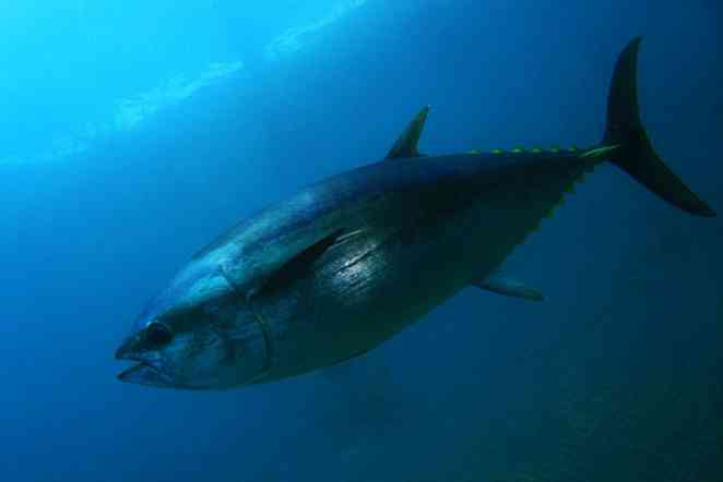 Ear bones allow researchers to track movement of Pacific bluefin tuna