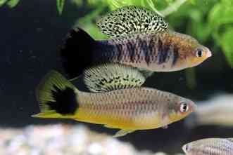 Biologists identify genes that cause melanoma in swordtail fish hybrids
