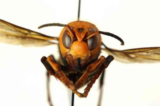 Governor assigns A&M new task: Keep 'murder hornet' out of state