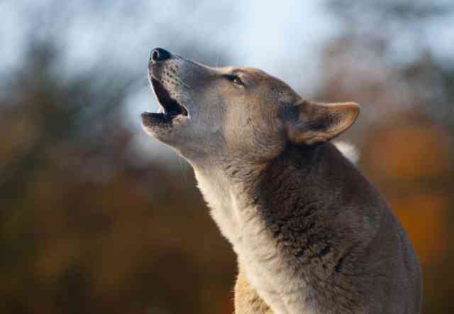 Encore for singing dogs? Discovery could save species from extinction