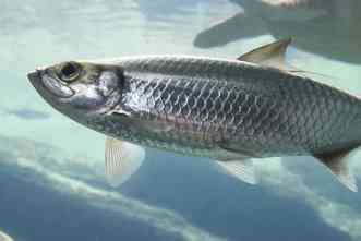 Scientific team reconstructs origins of Y chromosome in Atlantic herring