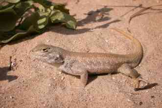 Can improving land management save rare West Texas lizards?